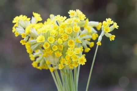kvet prvosienky jarnej