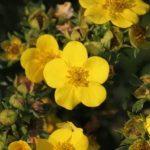 kvety natrznika husieho
