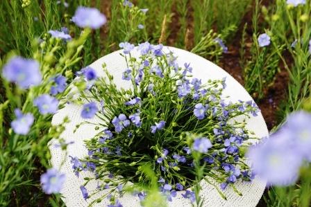 kytica kvitnucich lanovych rastlin
