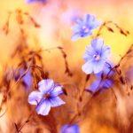 lanove kvety pola
