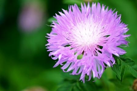 leuzea maralí koreň kvet