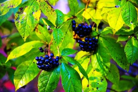 liečivá rastlina sibírsky ženšen rastie v lese