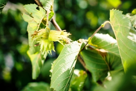 lieskove orechy rastuce na strome