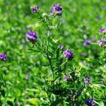 lucerna siata, Alfalfa, kvet a rastlina