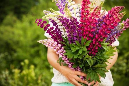 lupina kytica kvetov vlčieho bobu