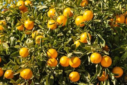 mandarinky na strome