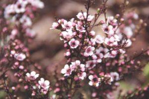 balmín metlatý kvet