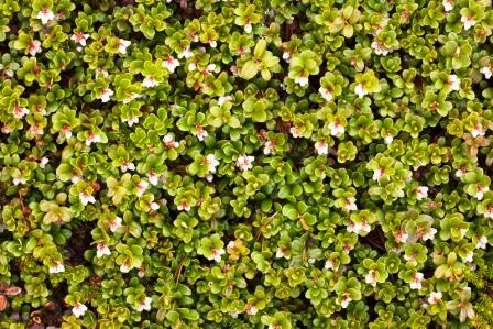 medvedica lekarska rastlina