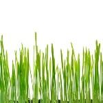 mladý zelený jačmeň