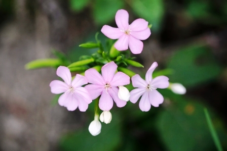 mydlica lekarska kvet