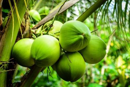 nezrelý kokosový orech na strome