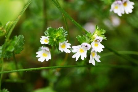 očianka biela bylina