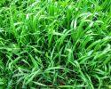 Pýr plazivý nie je žiadna bezvýznamná tráva či burina, pozrite sa na ňu…