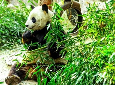 panda je vyhonky z bambusu