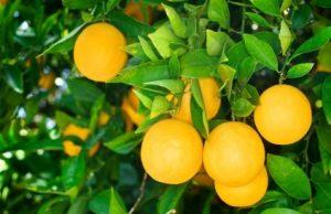 pomaranče na strome