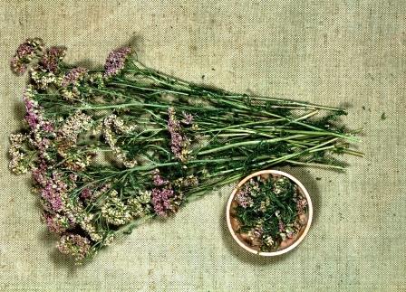 rebricek suche bylinky
