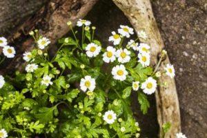 rimbaba obyčajná rastlina s kvetmi