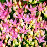 rozchodnica ruzova - kvitnuce liecive rastliny