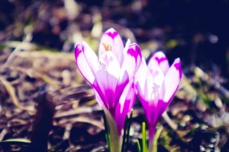 safranovy kvet