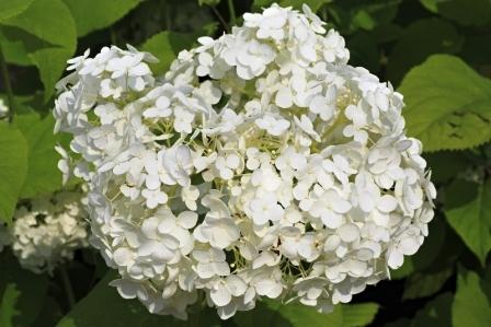 sladké drievko kvet