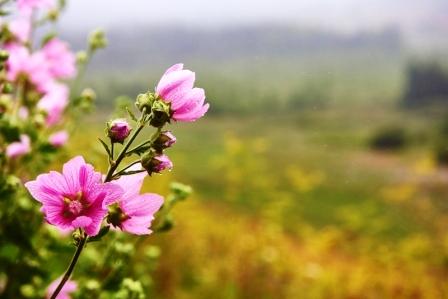 slez maursky, ružové slivky kvety. Kvitnúca pižma v lete.