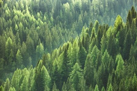 smrekovy les