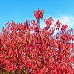 svib krvavy na jesen