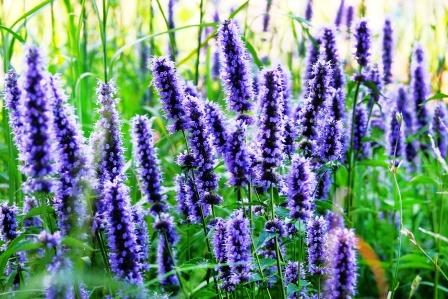 yzop bylina kvet