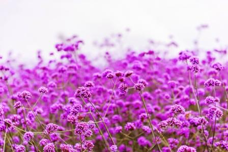 zeleznik lekarsky - kvitnuce pole