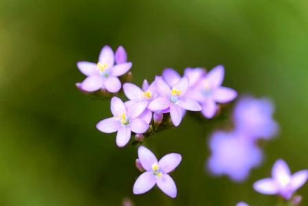 zemezlc bylina - kvety