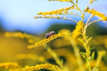zlatobyľ liečivá rastlina s včelou