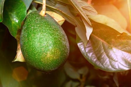 zrelé avokádo na strome hruškovec